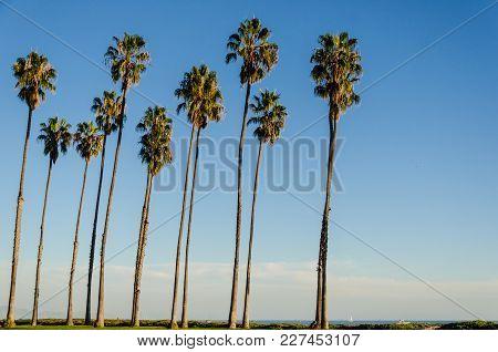 California High Palm Trees On The Beach Near The Ocean, Blue Sky Background, Santa Barbara