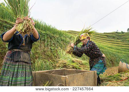 Hanoi, Vietnam - Sep 17, 2016: Vietnamese Ethnic Minority Woman Threshing Paddy On Terraced Field In