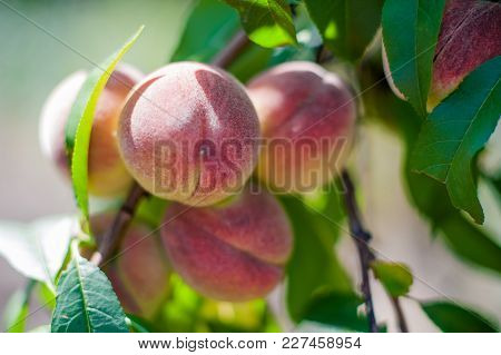 How To Grow Peaches On A Tree In The Garden. Ripe Juicy Peaches In The Garden, Gardening, Farming