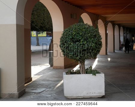 Trimmed Laurel Tree In Large Pot In Shade Arched Passage In Almeria, Spain