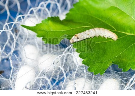 Silk Cocoon With Silk Worm On Green Mulberry Leaf