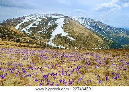 Beautiful Spring Landscape In Carpathians With Blooming Crocuses, Ukraine