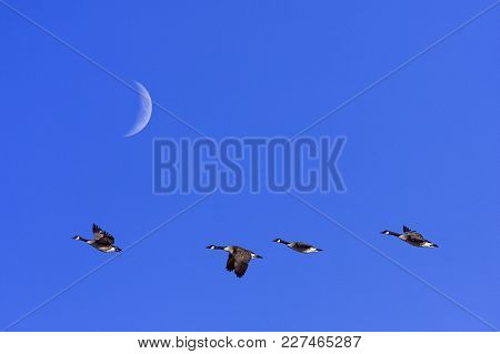 A Group Of Canada Geese In Migration. Clear Blue Sky In April. Moon.