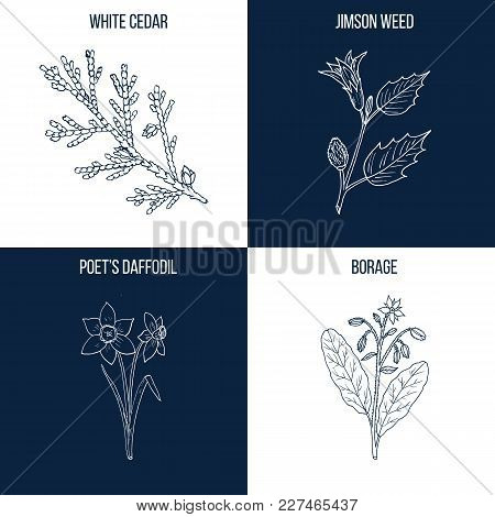 Vector Collection Of Four Hand Drawn Medicinal And Eatable Plants, White Cedar, Jimson Weed, Poet Da