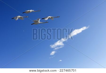A Group Of Whooper Swan In Migration. Clear Blue Sky In April.