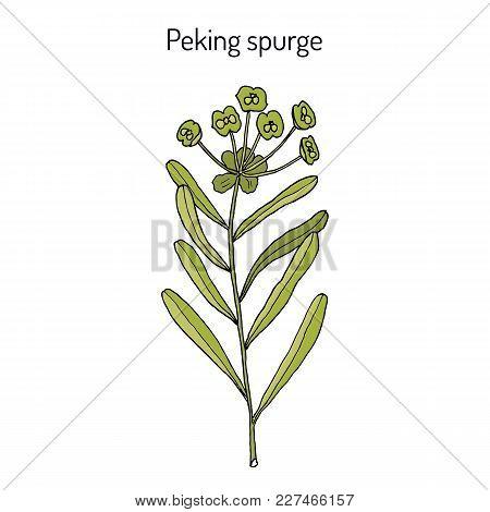 Peking Spurge Euphorbia Pekinensis , Medicinal Plant. Hand Drawn Botanical Vector Illustration