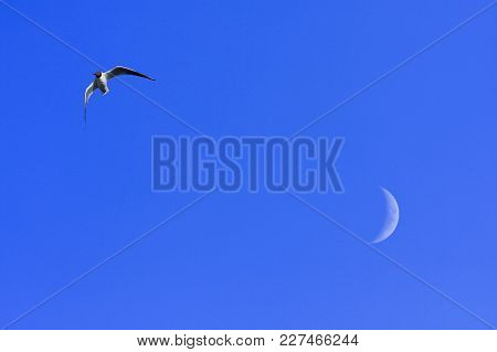 Black-headed Gull In Migration. Moon In The Background, Blue Sky.