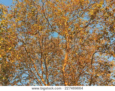 Golden Tree Canopy Reflects Sunset Against A Blue Sky