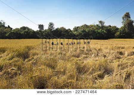 People Asian Farmer Harvest Of The Rice Field In Harvest Season, And Farmer Harvests Rice In Field,