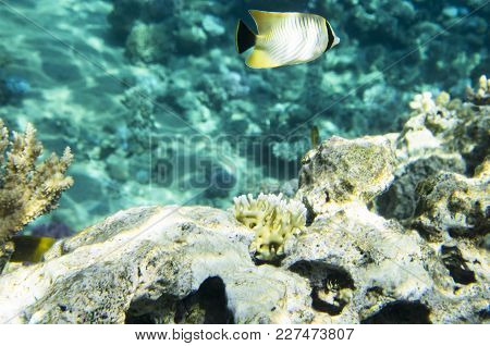 Butterfly Fish Near A Coral Reef, Sea