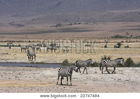 A herd of zebras is crossing the Ngorongoro conservation area during their annual migration poster