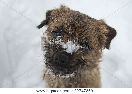 Portrait Of The Border Terrier. Snow Lies On The Muzzle Of A Dog