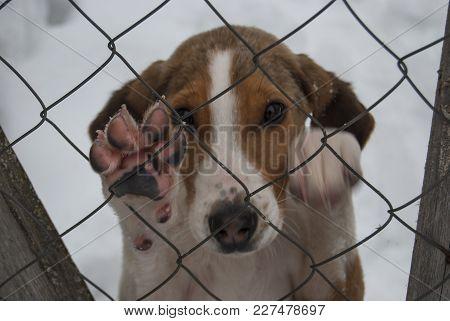 Puppy Hound (russian Piebald Hound) Behind The Net. The Pink Dog's Paw.