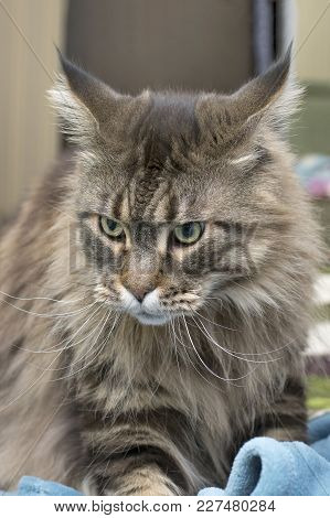 Gray Fluffy Maine Coon Cat Is Lying On Green Grass