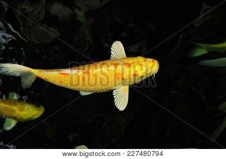 Koi Carp Fish Beauty In Nature Underwater