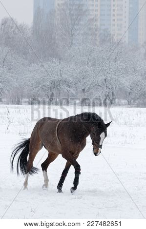 Brown  Horse In Winter Field In Motion On The Background Of The City.  Winter Landscape With A Brown