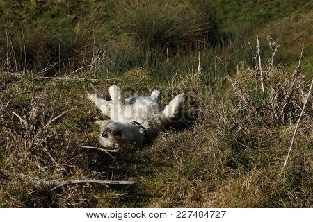 West Highland Terrier Having Fun Rolling On Its Back In Animal Excrement In Field In The Countryside