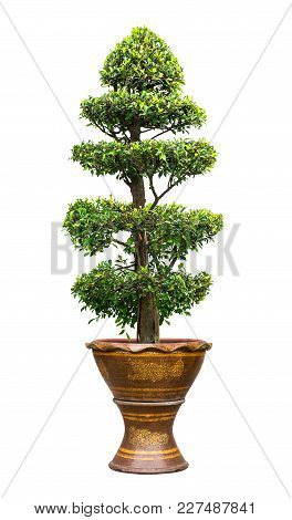 Banyan Tree In Earthenware Pot For Garden Decoration Isolated On White Background