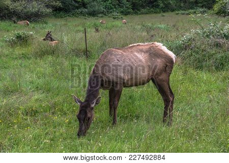 View Of A Deer Grazing In A Lawn Near Brookings, Oregon