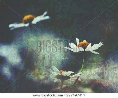 White Daisies With Moody Grunge Textured Background