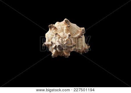 Single Seashell Isolated On A Black Background.