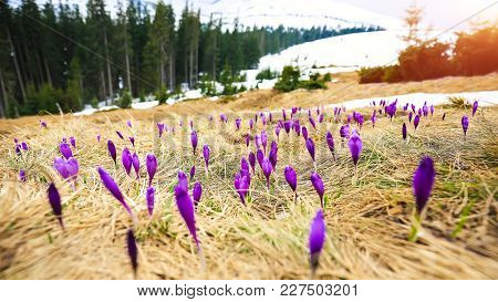 Spring Mountain Landscape With Violet Crocuses Blooming On The Meadow. Sunny Day