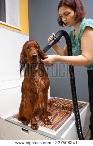 Groomer Drying Fur Of Dog With Hair Dryer At Salon
