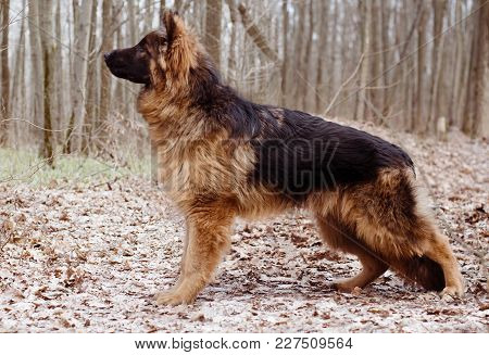 Portrait Of Adorable Young Fluffy German Shepherd Dog In The Forest. Walks With Pets Outdoor.