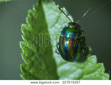 A Small Bug Hang On Leaf, Tubby Bugs