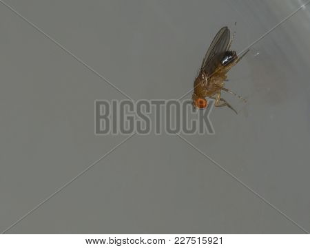Fruit Fly Or Vinegar Fly. Drosophila Melanogaster