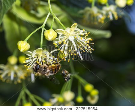 Bee Pollinates The Linden Flowers. Linden Branches