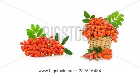 Berries Of Red Mountain Ash And Dog Rose Isolated On White Background. Horizontal Photo.