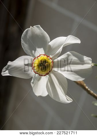 Daffodils In Spring. Blooming Narcissus, Narcissus, In The Garden, Spring Bulbs.