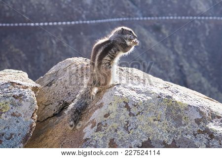 Side View Of Barbary Ground Squirrel Sitting On Rock While Holding Food In Paws And Looking At Camer