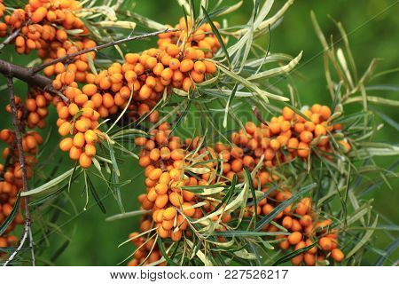 Sea Buckthorn Plant With Fruits