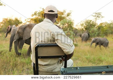 Game Reserve Tracker Watching Wild Elephants From Front Of Vehicle