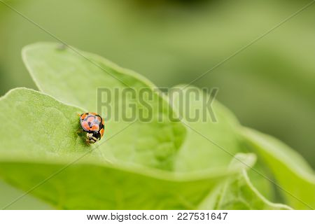 Macro Close Up Of A Ladybug, Small Red Insect On A Leaf