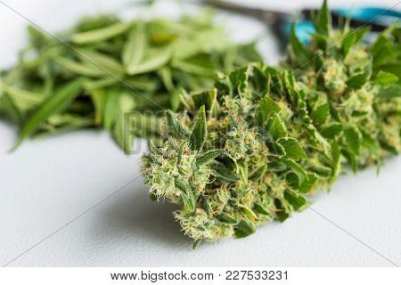 Macro Close Up Of Freshly Trimmed Cannabis Leaves During Harvest, Large Female Marijuana Bud
