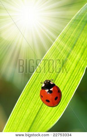 ladybird sitting on a sheet of grass poster