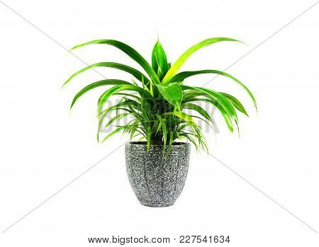 Green Potted Plant, Trees In The Cement Pot Isolated On White Background.
