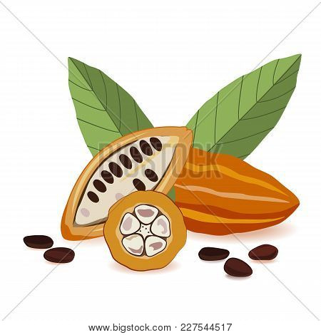 Cacao Fruit, Raw Cacao Beans With Leaves Composition. Cocoa Pod On White Background. Vector Illustra