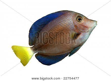 tropical reef fish genus Acanthuridae