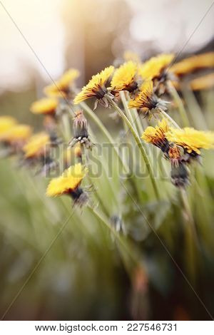 Yellow Flowers Of A Dandelion In The Field. Photo Taken With Lensbaby