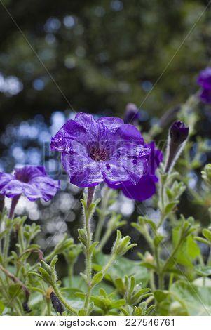 Violet Petunia Close-up After Warm Summer Rain.