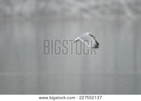 A Seagull Hovers While Hunting, Over A Lake During A Hard Snow Storm.
