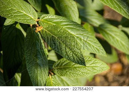 Close-up Of Green Leaves On A Bush On A Sunny Day