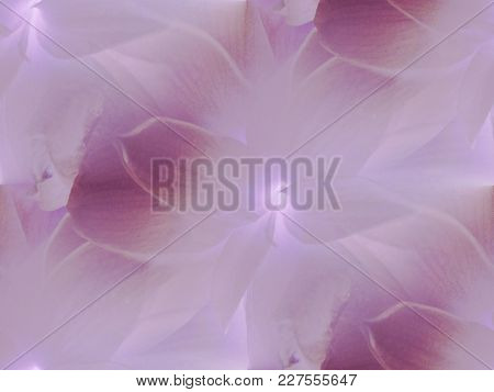 Amaryllis Blossom Violet And Lilac Centered, Shimmering And Dreamy.