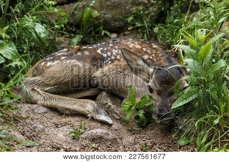 Spring Closeup Of A Whitetail Deer Fawn Bedded Down In A Woodland Habitat,