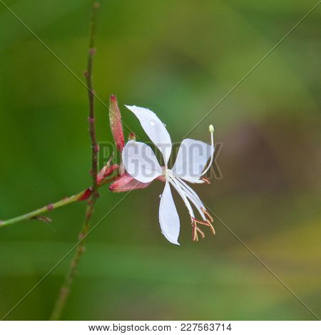 Single White Gaura Blooming In Postojna Cave In Slovenia