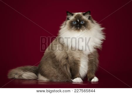 Fluffy Beautiful White Cat Ragdoll With Blue Eyes, Posing Lying On Studio Red Background.
